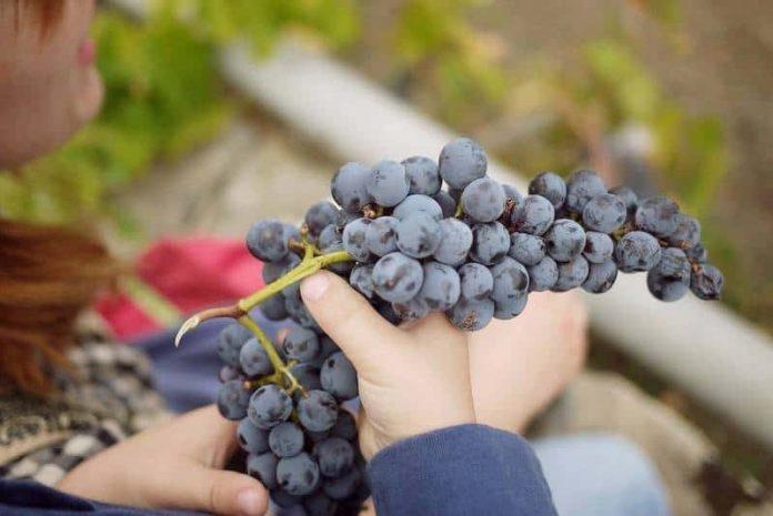 спелая гроздь винограда в руках