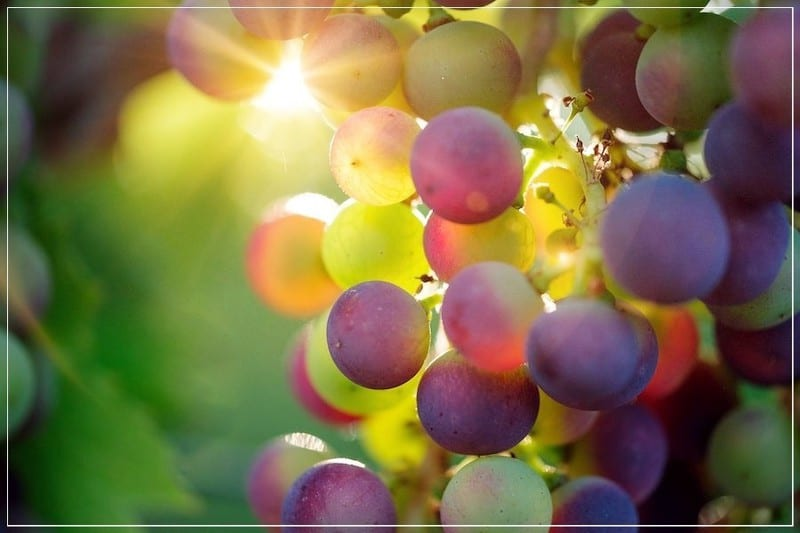 виноградная гроздь на солнце
