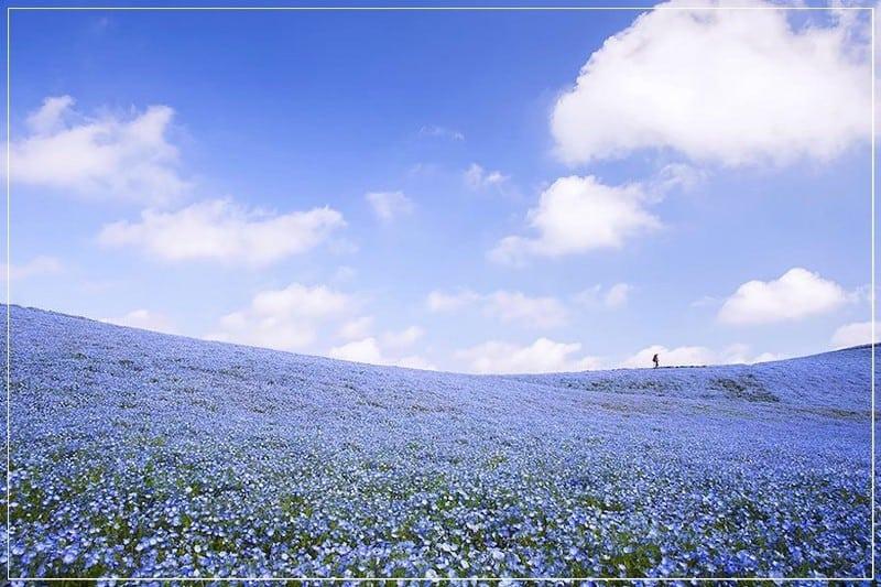 цветущее поле льна