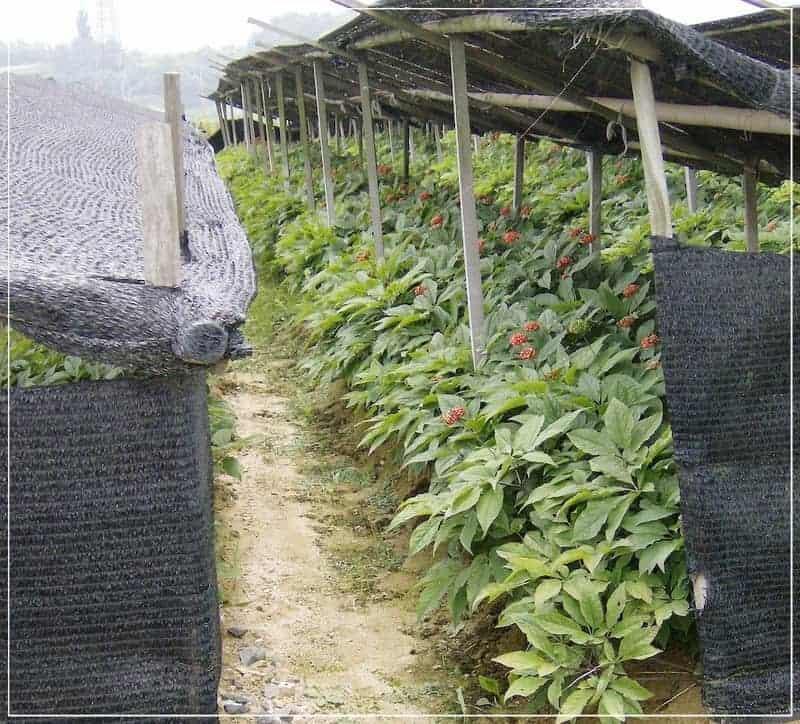 выращивание женьшеня на плантациях