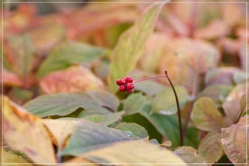 яркие красные ягоды женьшеня