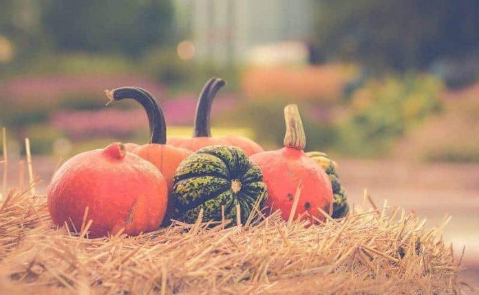 созревшие тыквы осенью
