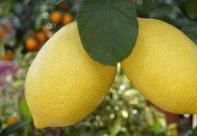 два спелых лимона