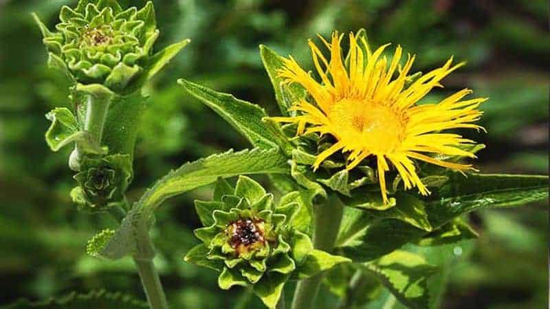 цветок девясил