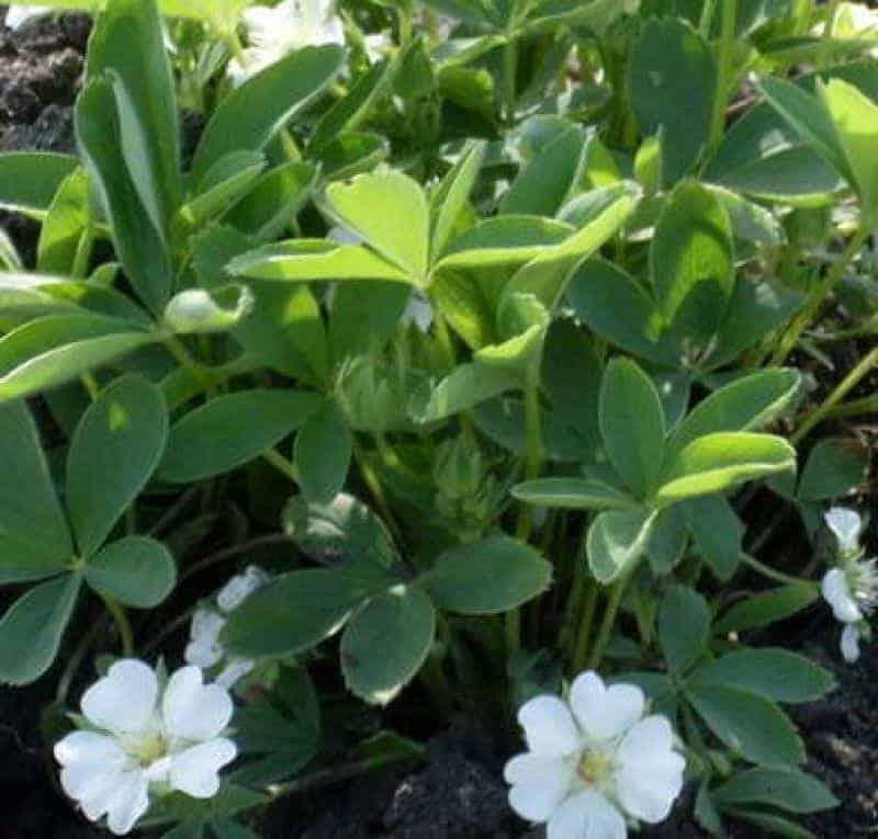 белые цветы лапчатки