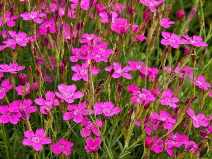 цветы гвоздики травянки