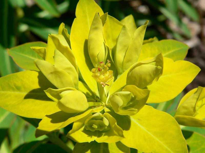 цветок Молочая Паласса