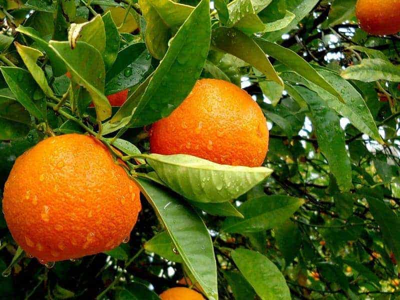 апельсин на дереве