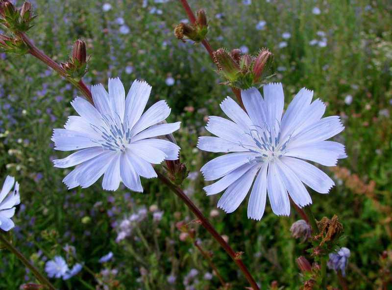 два цветка цикория обыкновенного