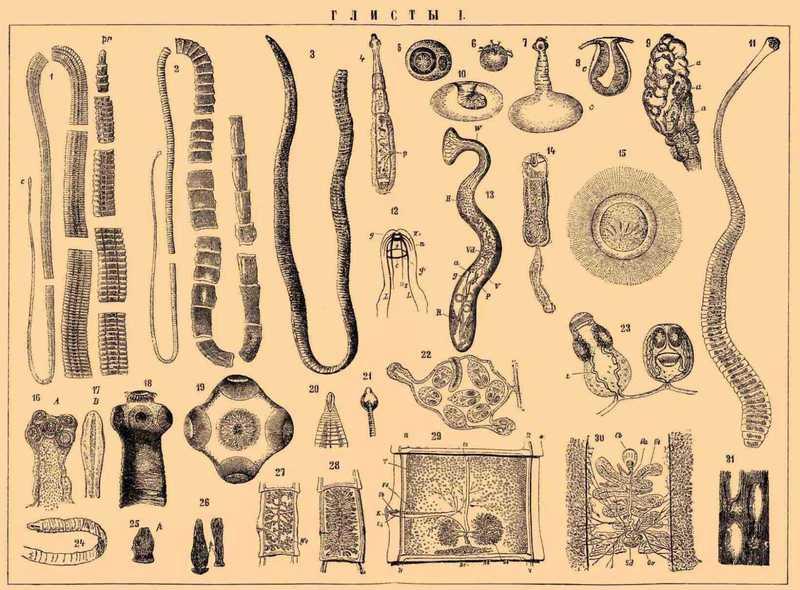 виды глистов