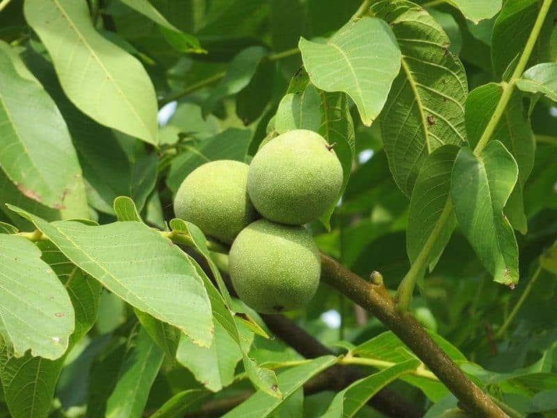 грецкие орехи на ветке