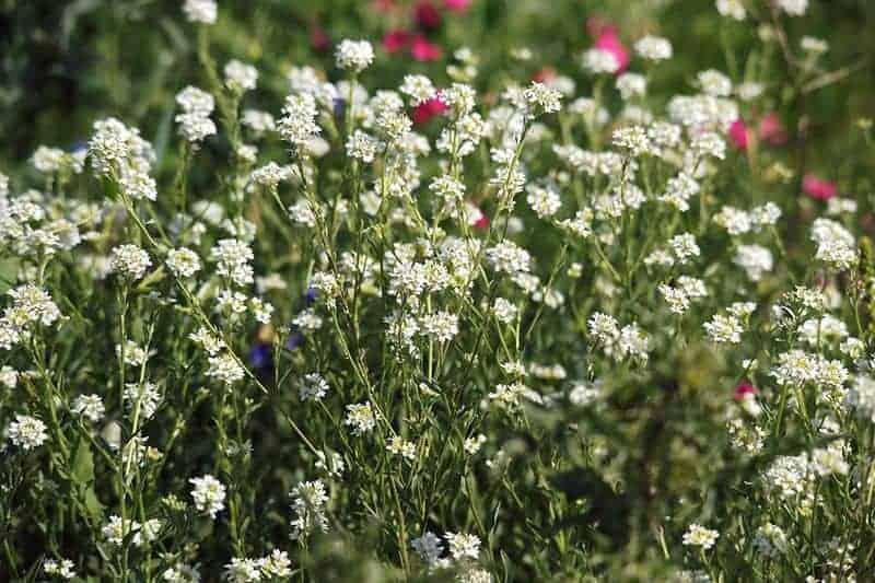 икотная трава