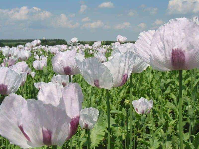 белые цветы мака
