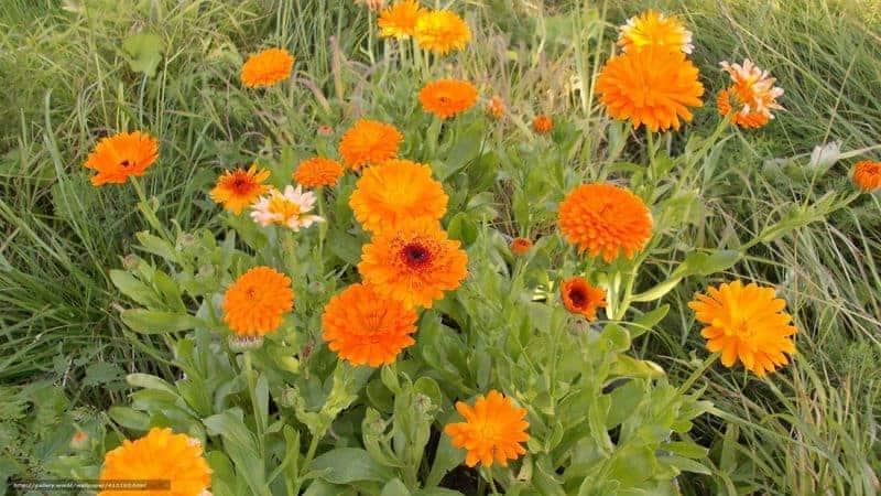цветки ноготков