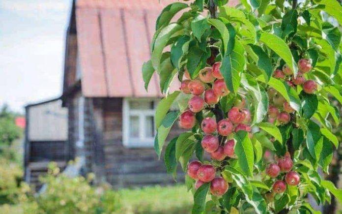 яблоня у дома