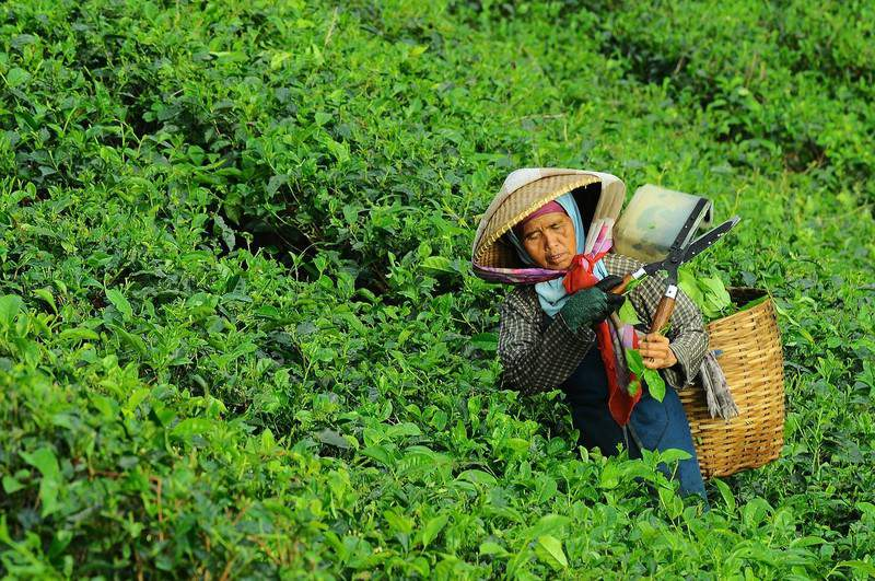 женщина собирает чай