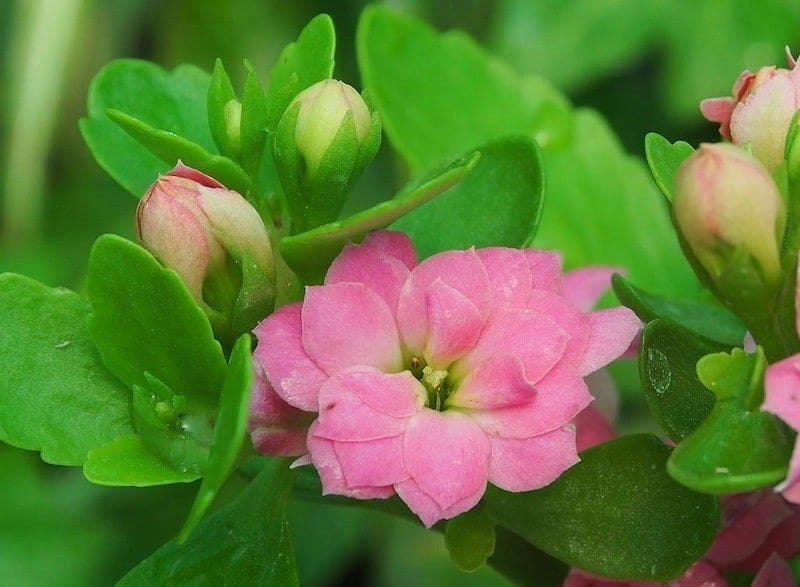 каланхоэ цветёт