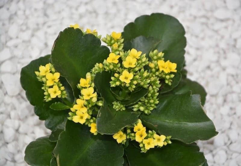 жёлтые цветы каланхоэ