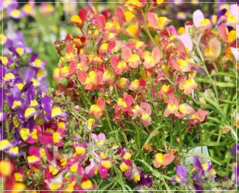 цветы льнянка