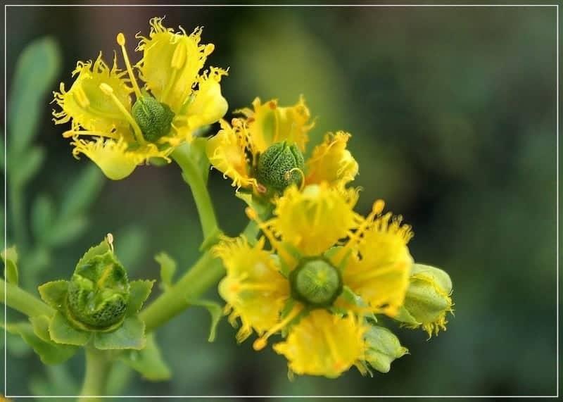 цветы рута