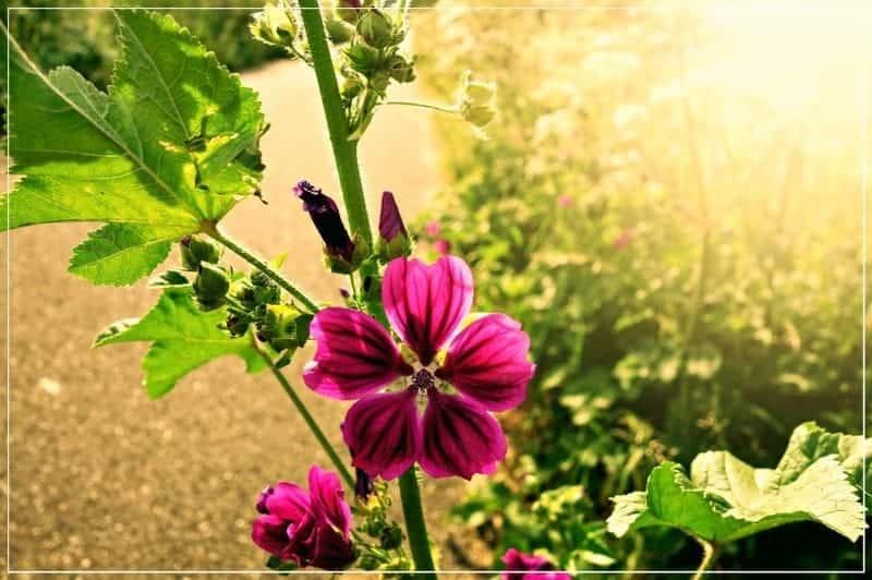 герань цветёт