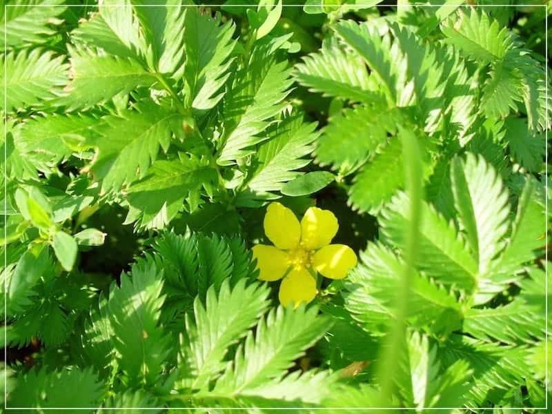 листья и цветок лапчатки гусиной