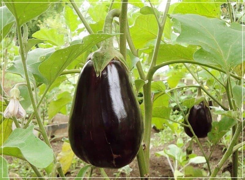 плод баклажана