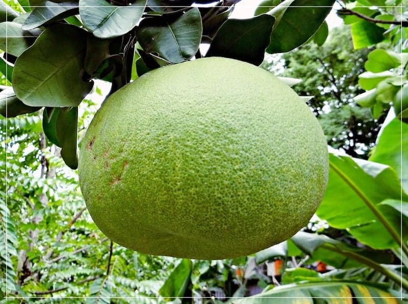 зелёный плод