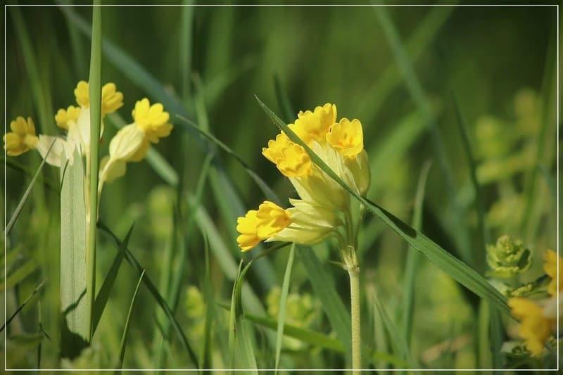 жёлтые цветы первоцвета весеннего