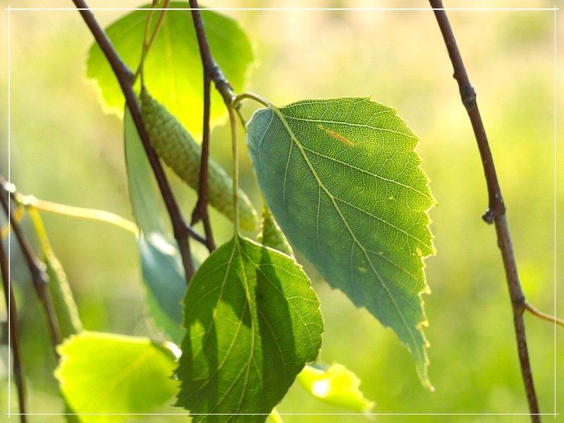берёза листья