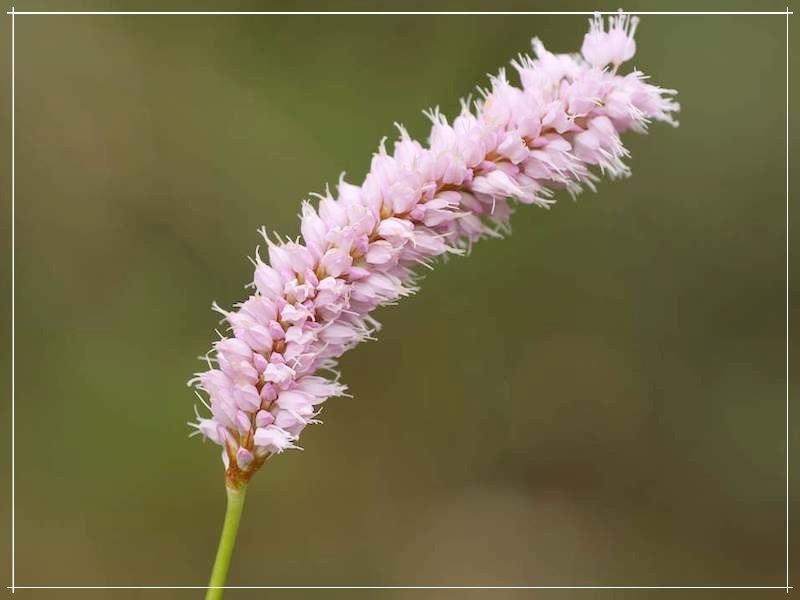 цветок горца змеиного
