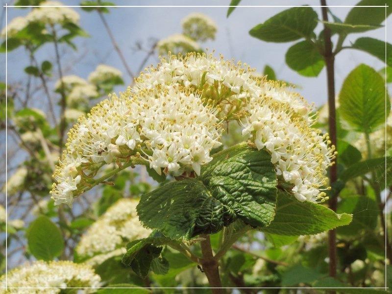 калина цветёт