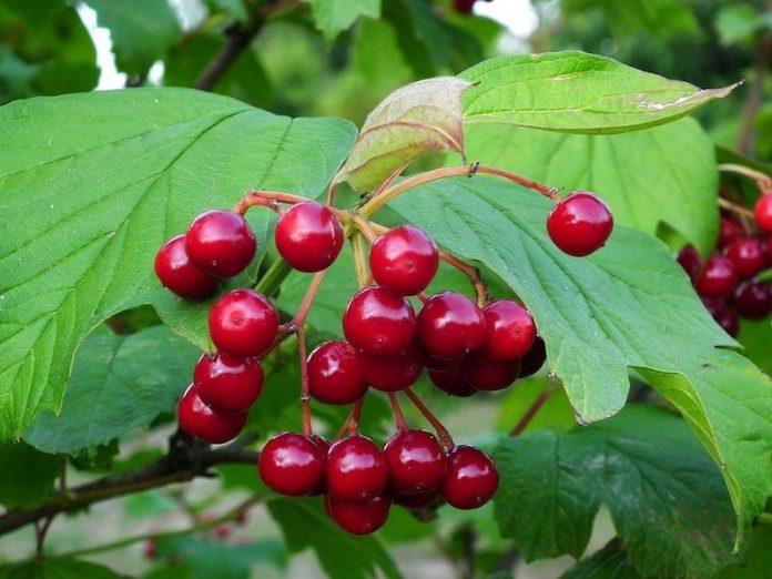 красивые ягоды калины
