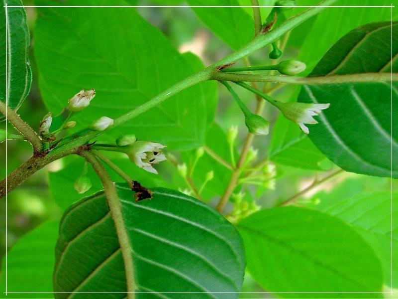 цветение крушины