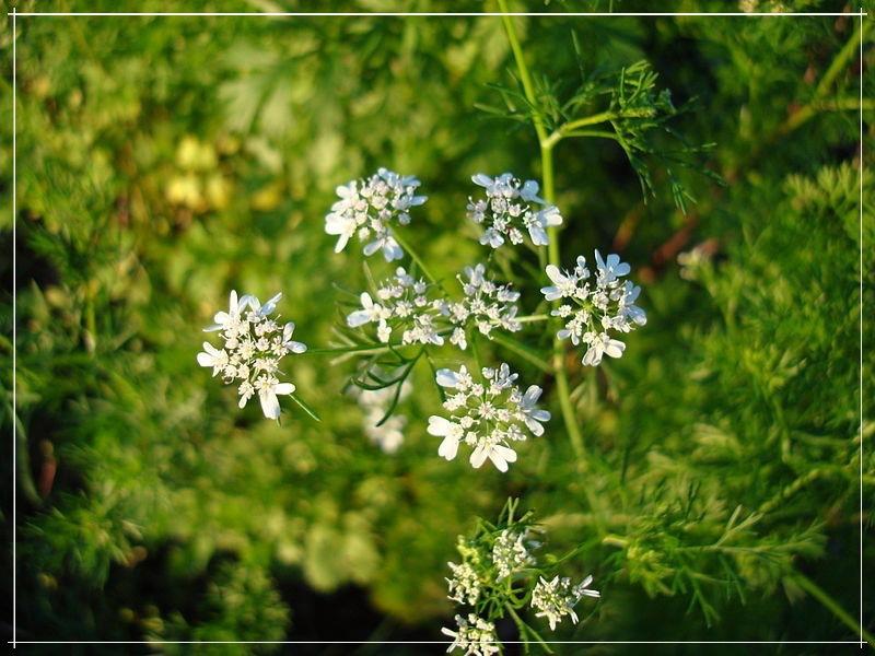 цветение тмина