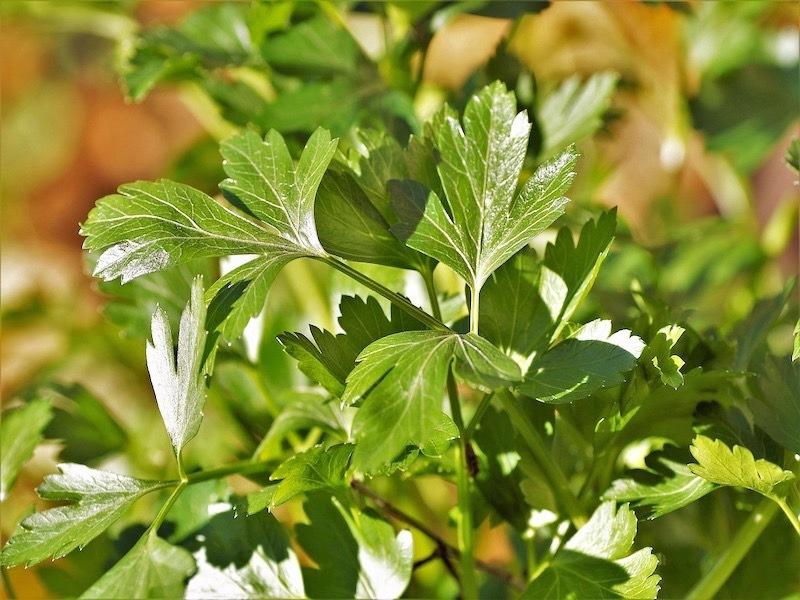 лист петрушки