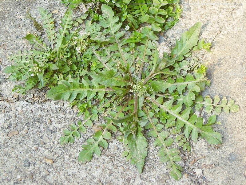 прикорневые листья