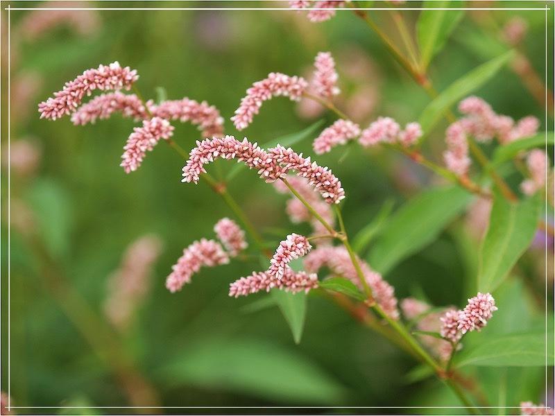 горец почечуйный цветёт