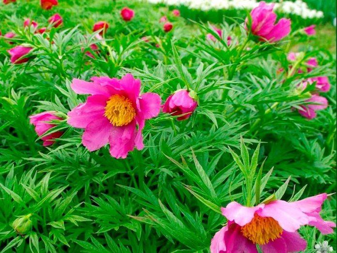 пион уклоняющийся цветёт