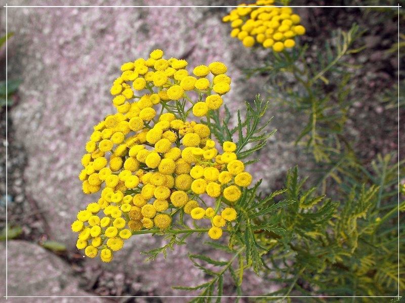 жёлтые цветки пижмы