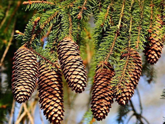 шишки на хвойном дереве