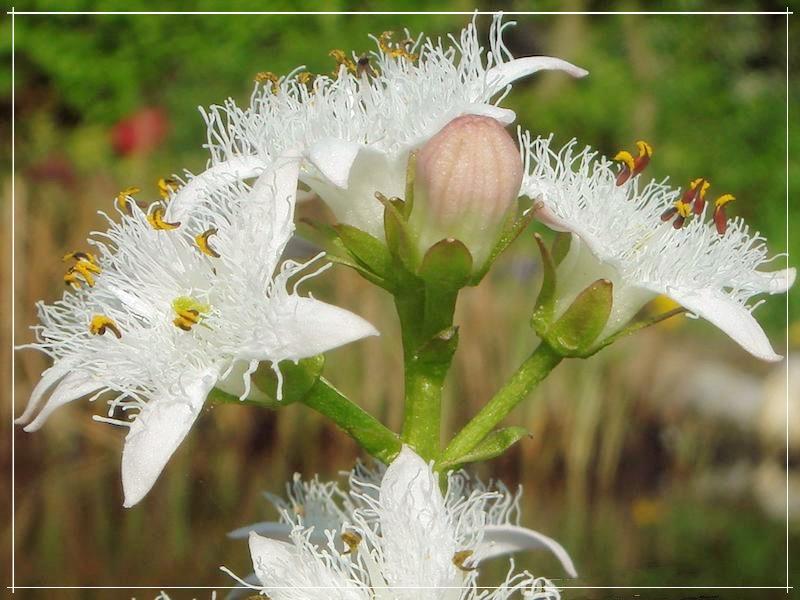 вахта трёхлистная цветёт
