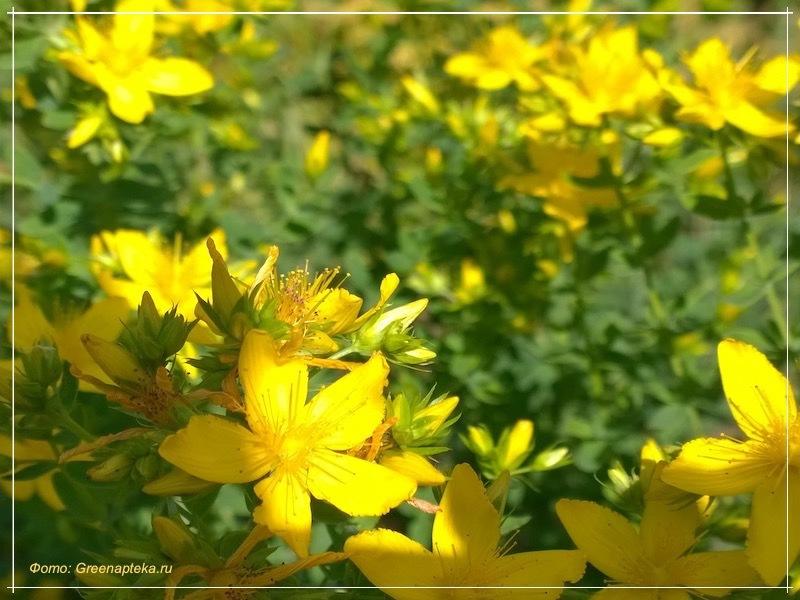 желтые цветки зверобоя