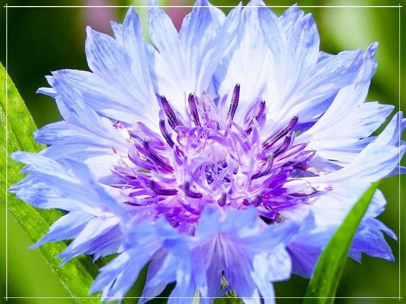 цветок василька крупно