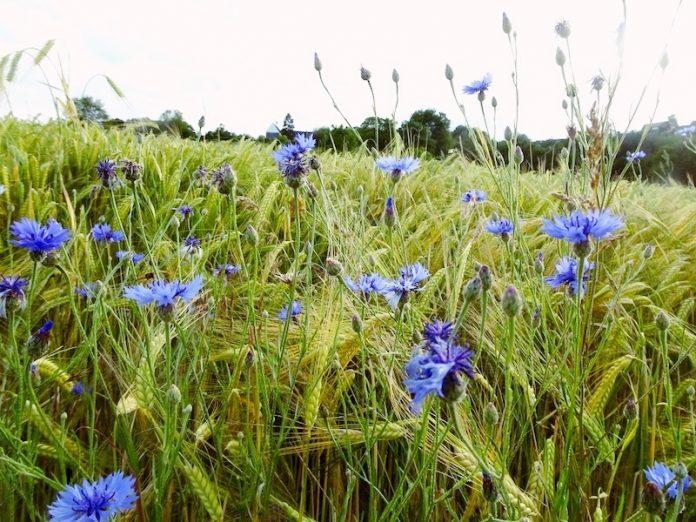 василёк синий в поле