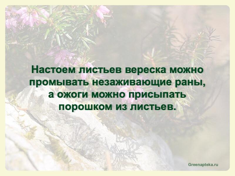 настой листьев вереска
